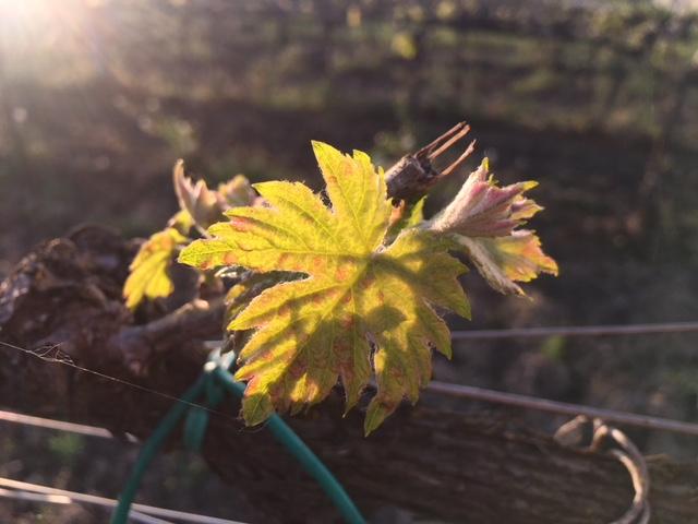 risveglio vite uva germoglio sole primavera